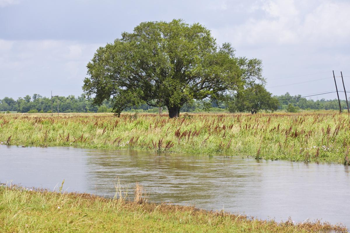 A splendid oak tree in the spillway. It's definitely a water oak.