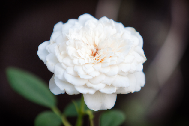 Sombreuil Rose