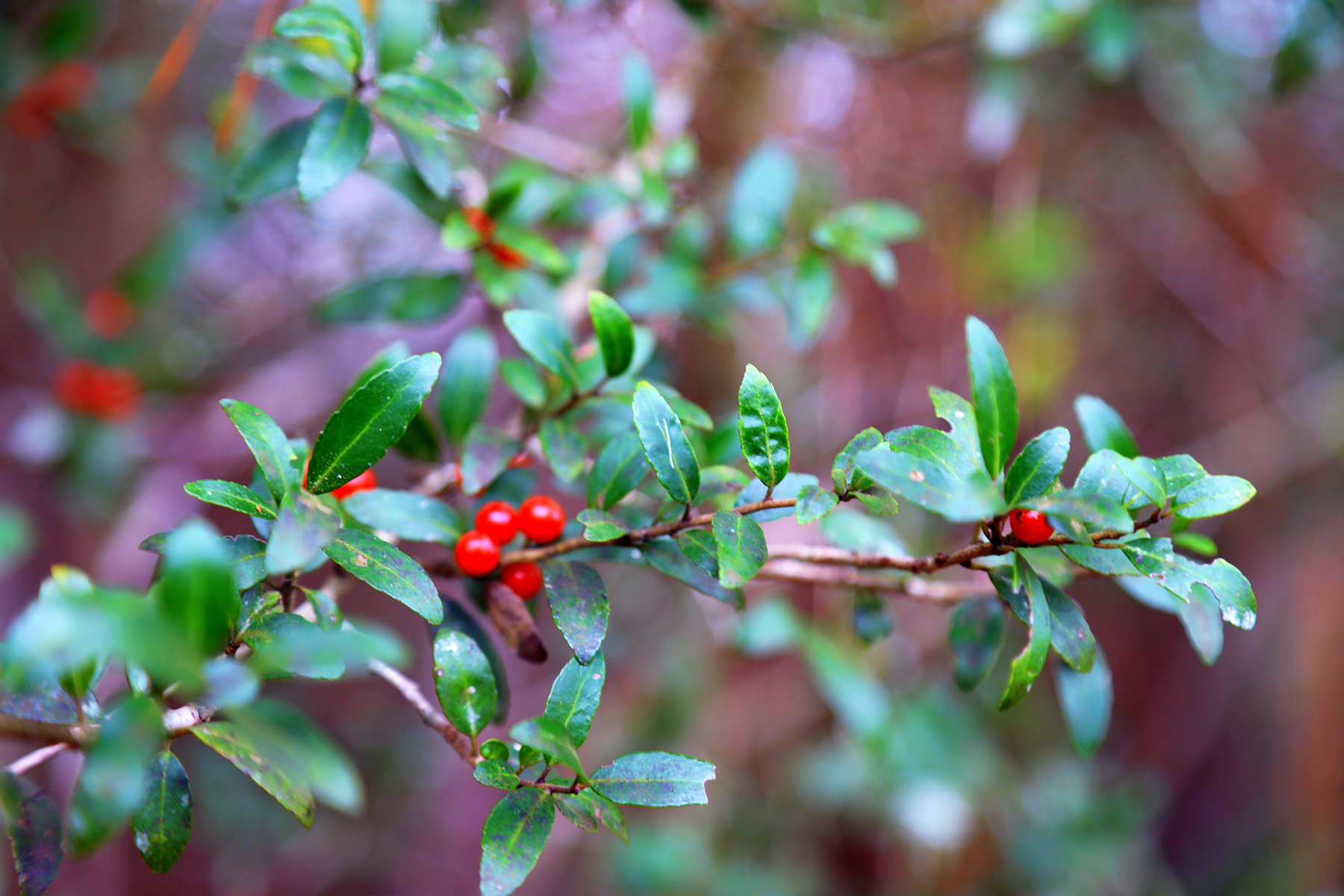 Holly Berries along the old property line